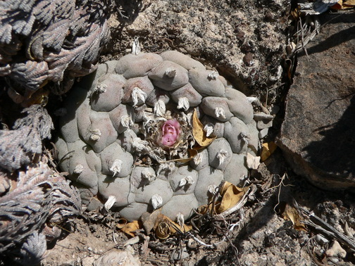 14.Lophophora williamsi
